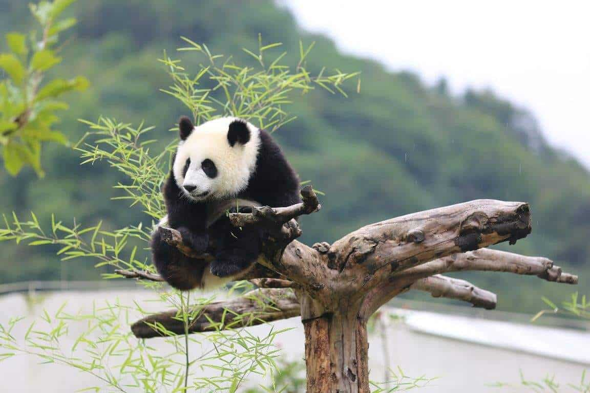 WHAT PANDA BASES AVAILABLE IN AND AROUND CHENGDU FOR A PANDA TOUR