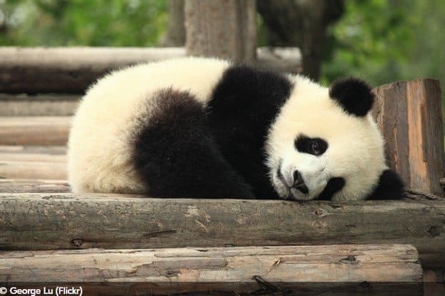 BEST AND AFFORDABLE CHENGDU PANDA TOURS